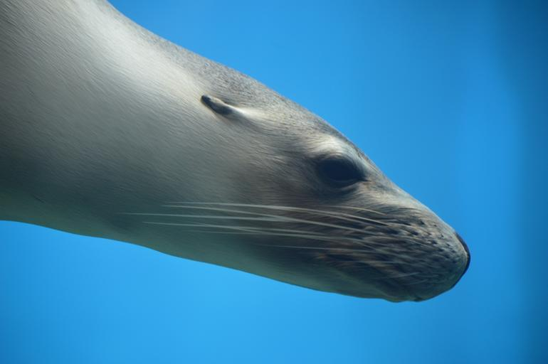 seal_pinniped_ocean_wildlife